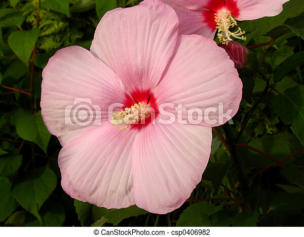 Giant Pink Hibiscus Syriacus Flower Rose Of Althea Against Dark