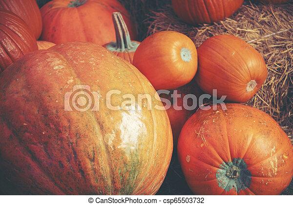 Giant pumpkin in the farm - csp65503732