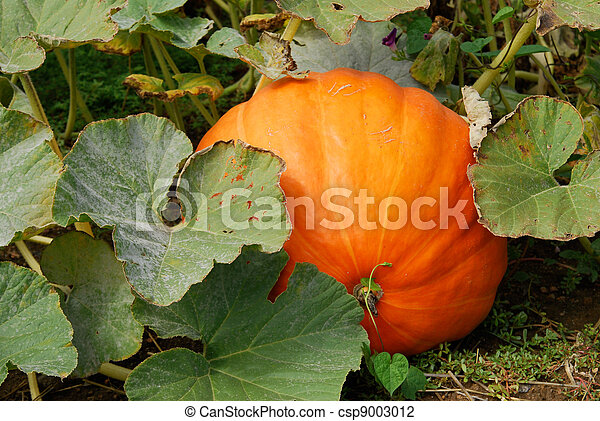 Giant pumpkin - csp9003012