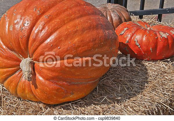 Giant Pumpkin - csp9839840