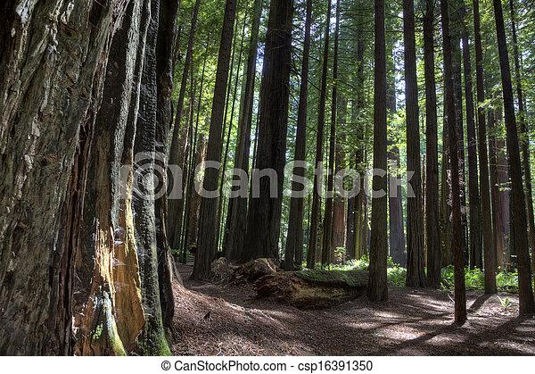 Giant Redwoods California - csp16391350