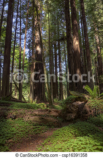 Giant Redwoods California - csp16391358