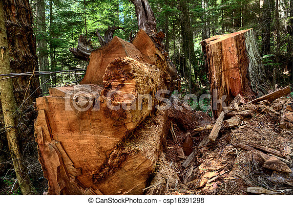 Giant Redwoods California - csp16391298