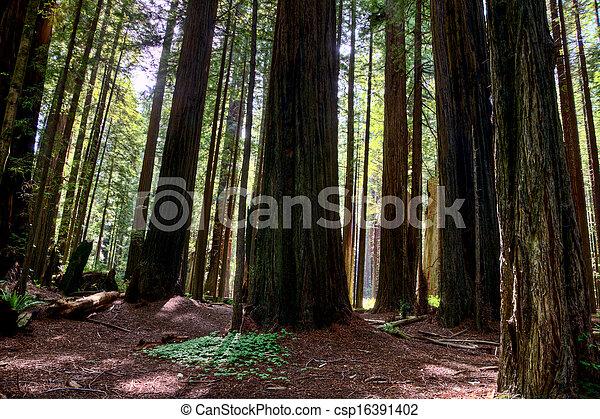 Giant Redwoods California - csp16391402