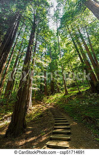Giant redwoods in Muir Woods National Monument near San Francisco, California - csp51714691