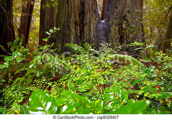 Giant Redwoods - csp9329407