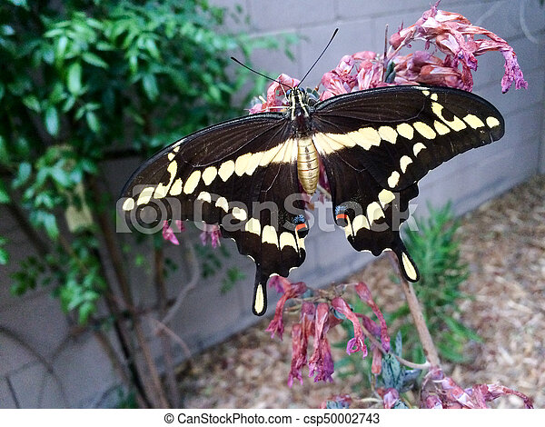 Sưu tập Bộ cánh vẩy 2 - Page 63 Giant-swallowtail-butterfly-papilio-stock-photo_csp50002743