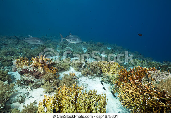 giant trevally and coral garden - csp4675801