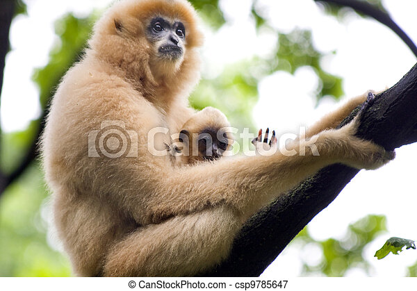 Gibbon mother and baby - csp9785647