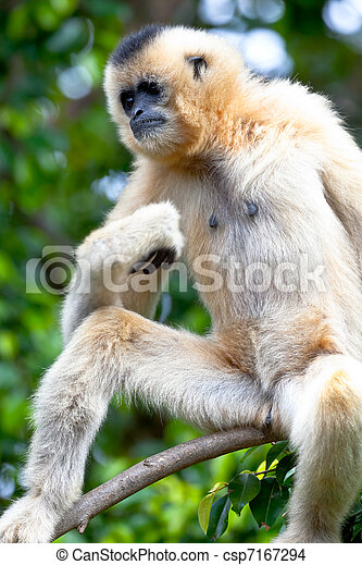 Gibbon of golden cheeks, Nomascus gabriellae - csp7167294