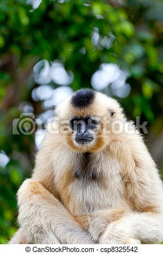 Gibbon of golden cheeks, Nomascus gabriellae - csp8325542