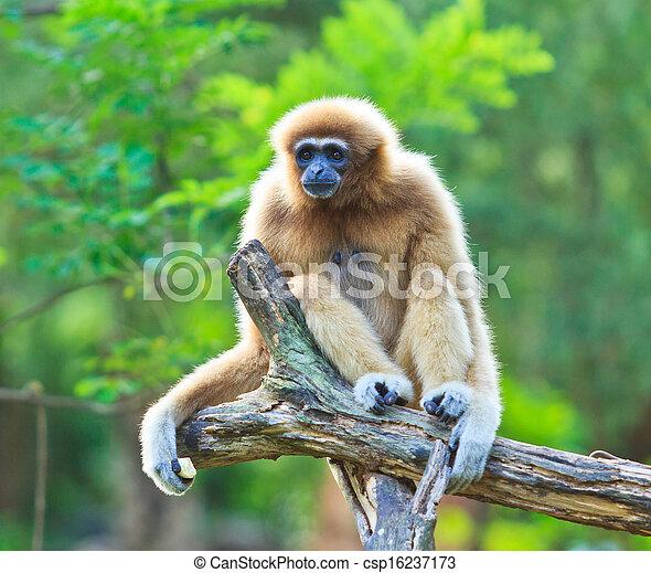 Gibbon  - csp16237173
