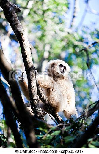 Gibbon - csp6052017