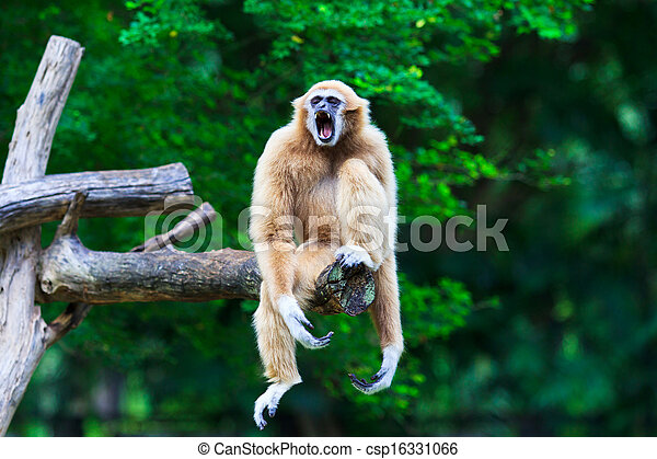 Gibbon  - csp16331066