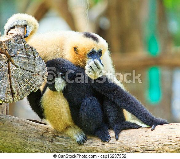 Gibbon  - csp16237352