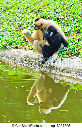 Gibbon  - csp16237395