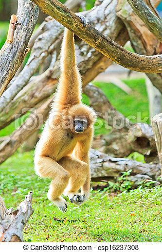 Gibbon  - csp16237308