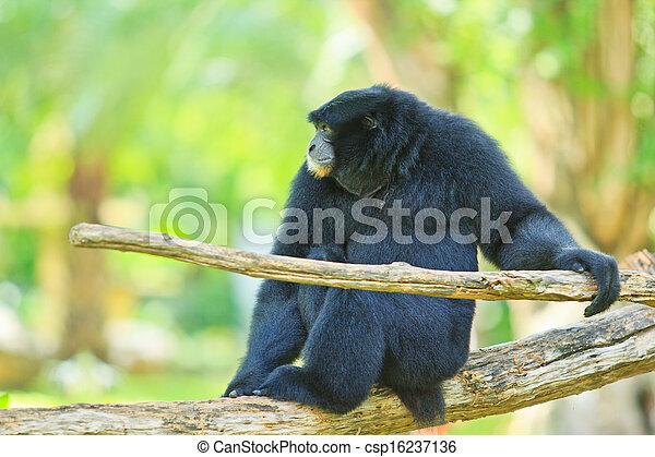 Gibbon  - csp16237136
