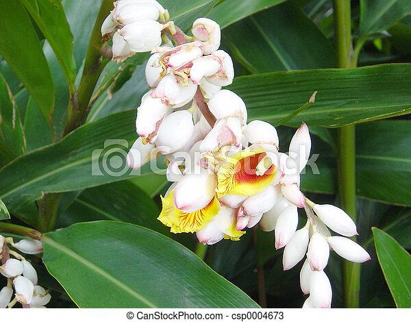 Ginger Blossom - csp0004673