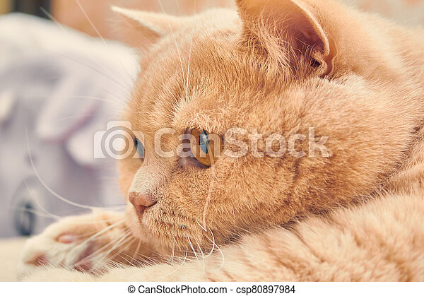 ginger cat with a surprised face. close up - csp80897984