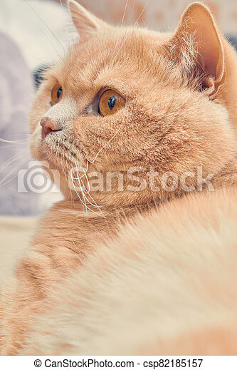ginger cat with a surprised face. close up - csp82185157