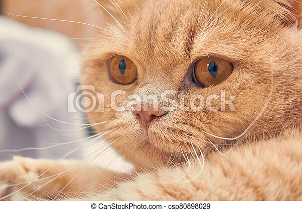 ginger cat with a surprised face. close up - csp80898029