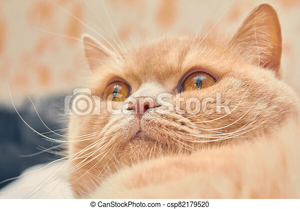 ginger cat with a surprised face. close up - csp82179520