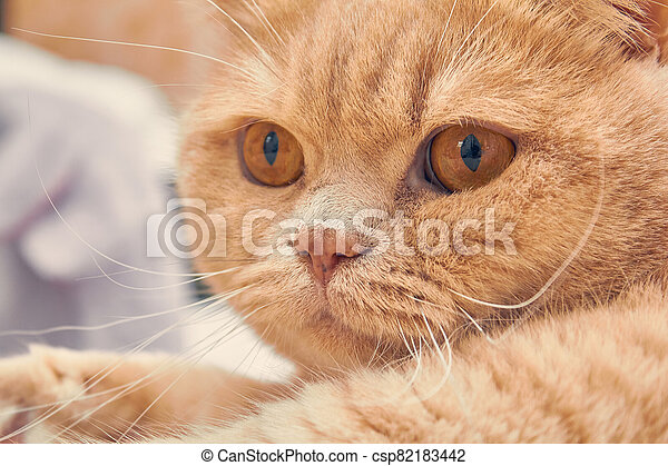 ginger cat with a surprised face. close up - csp82183442