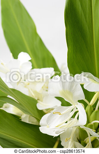 Ginger lily flower white ginger lily flower in vertical composition ginger lily flower csp28613574 mightylinksfo