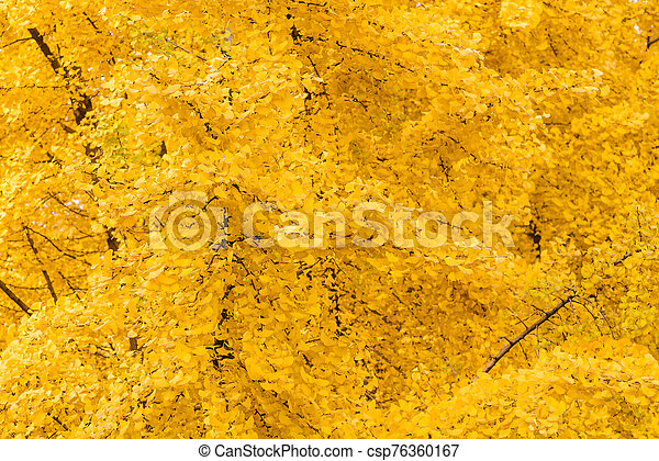 Gingko trees with yellow leaves in autumn background - csp76360167
