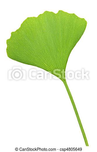 ginkgo の葉, biloba - csp4805649