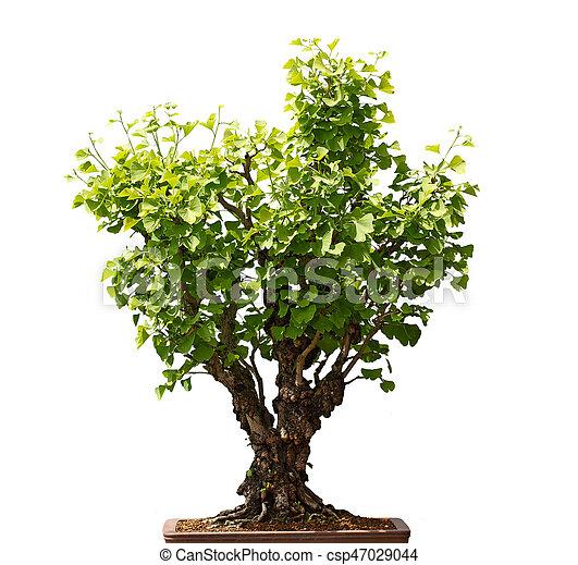 Maidenhair Ginkgo Biloba Bonsai Tree Isolated On White Background