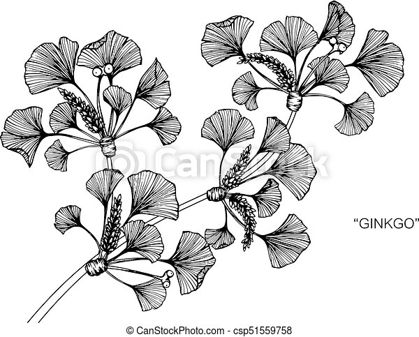 ginkgo leaves drawing and sketch with line art on white backgrounds