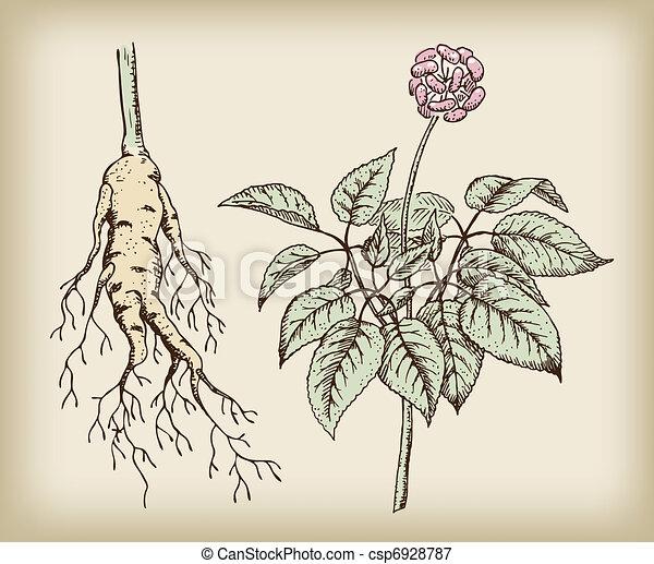 Ginseng (Panax), a medicinal plant. Root, stem, fruit. - csp6928787