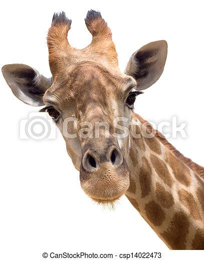 girafe, closeup - csp14022473