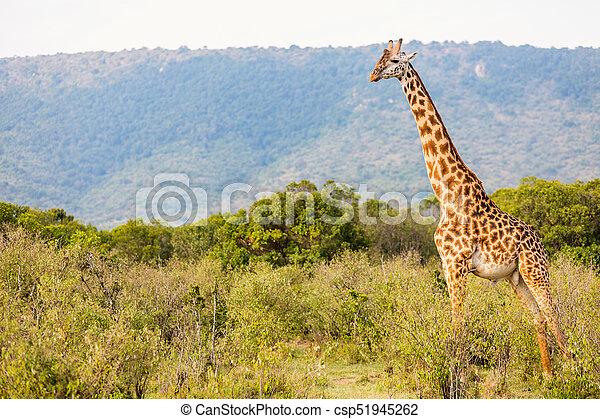 girafe, parc, safari - csp51945262