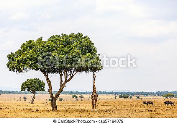girafe, parc, safari - csp57194079