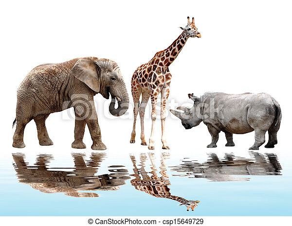 girafe, rhinocéros - csp15649729