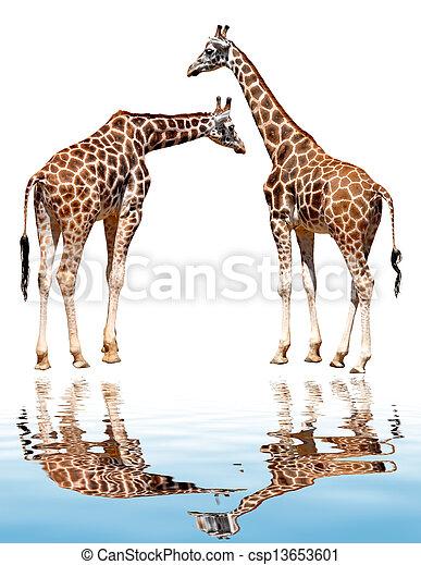 girafes - csp13653601