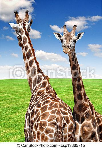 girafes - csp13885715