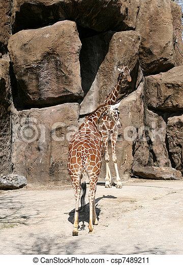 girafes - csp7489211