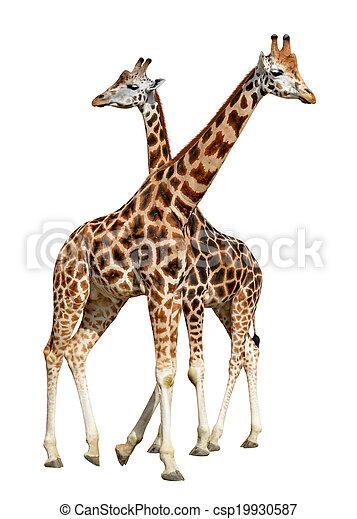 girafes - csp19930587