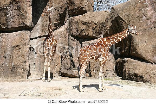 girafes - csp7489212