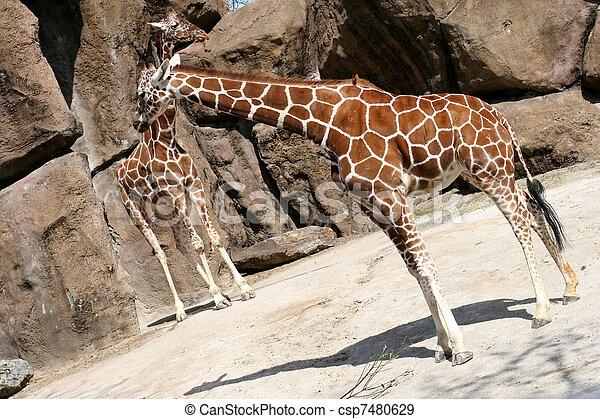 girafes - csp7480629