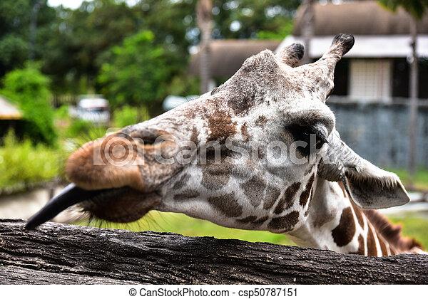 giraffa - csp50787151