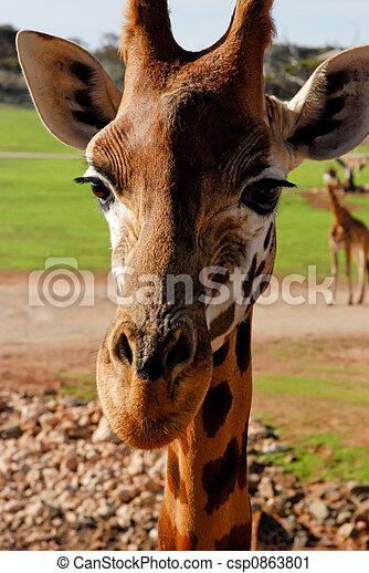 giraffa - csp0863801