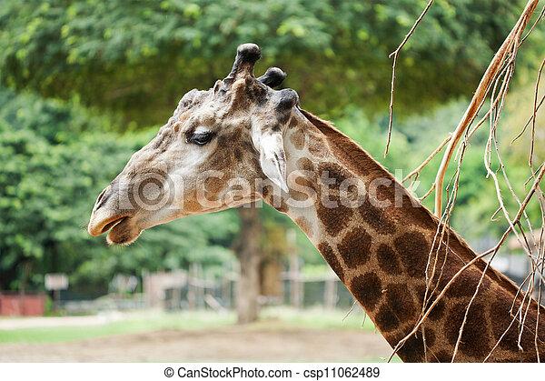Giraffe head - csp11062489