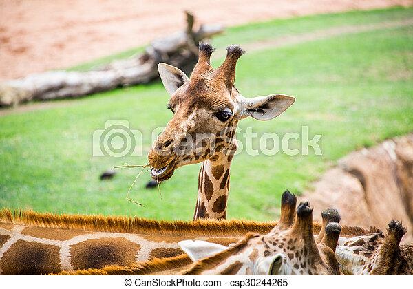 Giraffe head. - csp30244265