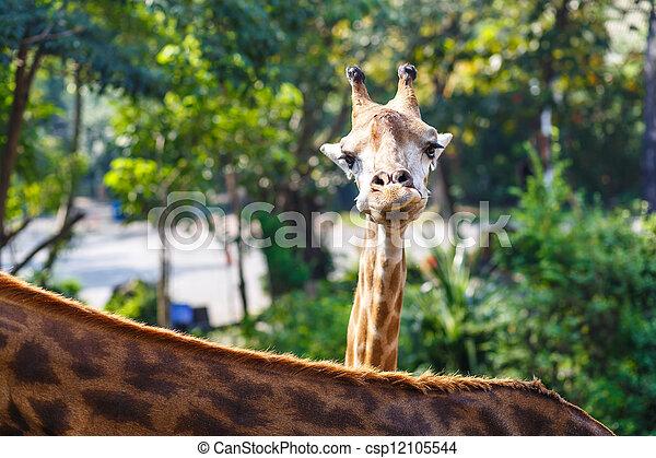 giraffe head - csp12105544