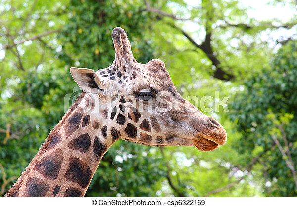 giraffe head - csp6322169